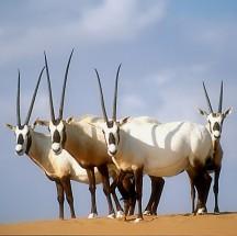 Some Arabian oryx in the wild.